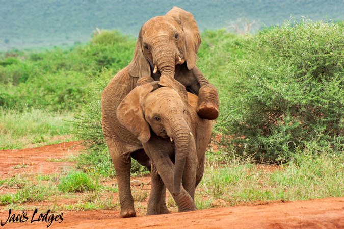 Elephants, tussling, waterhole, Madikwe