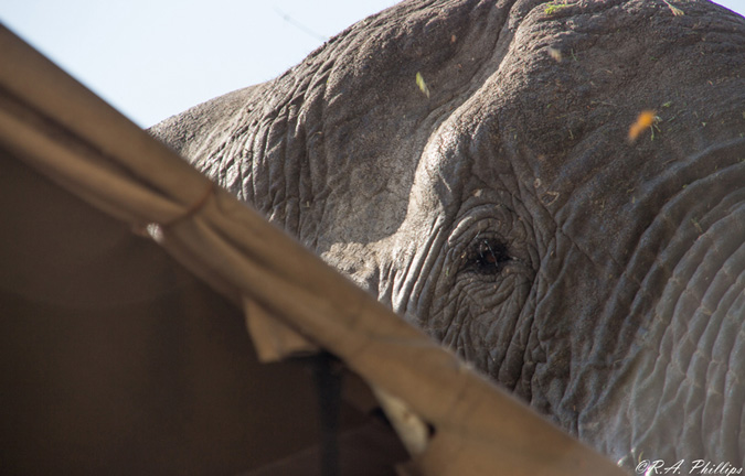 Elephant, Mdonya Camp, Tanzania