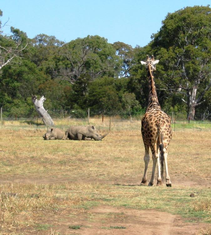 Werribee Open Range Zoo, Australia, rhinos