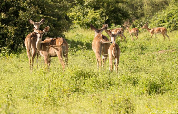 Antelope, Mdonya Camp, Tanzania