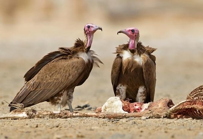 Image result for vulture