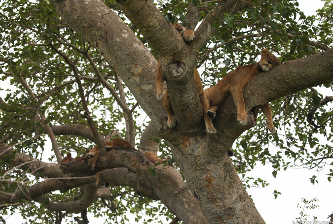 tree climbing lions, Queen Elizabeth NP, Uganda