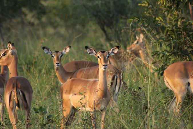 Cheetah Plains, after the rain, impala