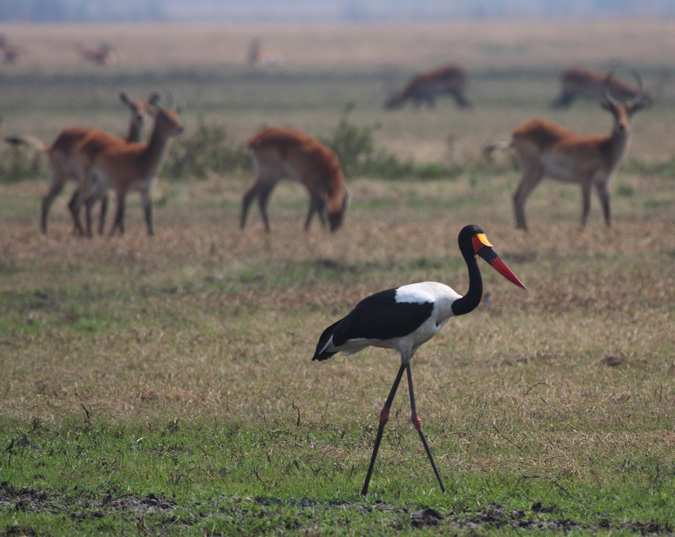 wildlife, Busanga Plains, Kafue National Park, Zambia