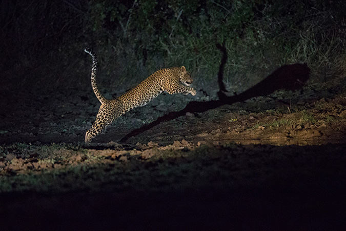 Image of: Wildlife Solution To Avoid Distressing The Animal Could Be To Use Red Filter On The Spotlight Most Mammals other Than Primates Are At Least Partly Africa Geographic Meet The Nocturnal Animals Of South Luangwa Africa Geographic