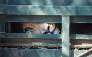 lion in crate, Blood Lions