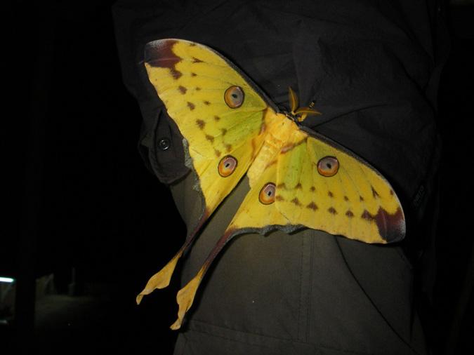 Moth, Andasibe-Mantadia National Park, Madagascar