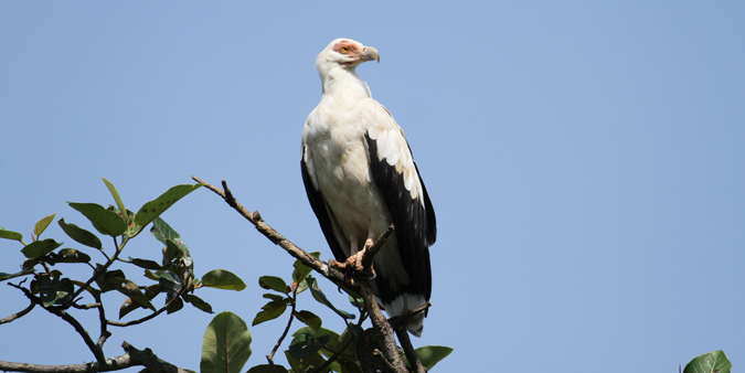 Palm-nut vulture, Mabambo Bay, Uganda