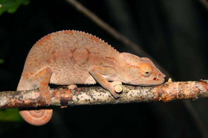 Chameleon, Andasibe-Mantadia National Park, Madagascar