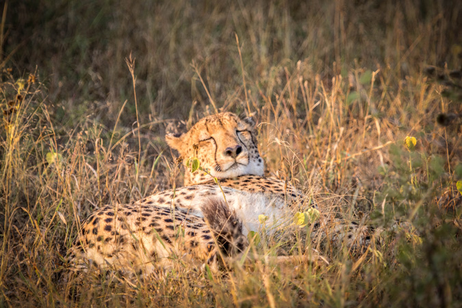 Cheetah, Rhino River Lodge, KZN