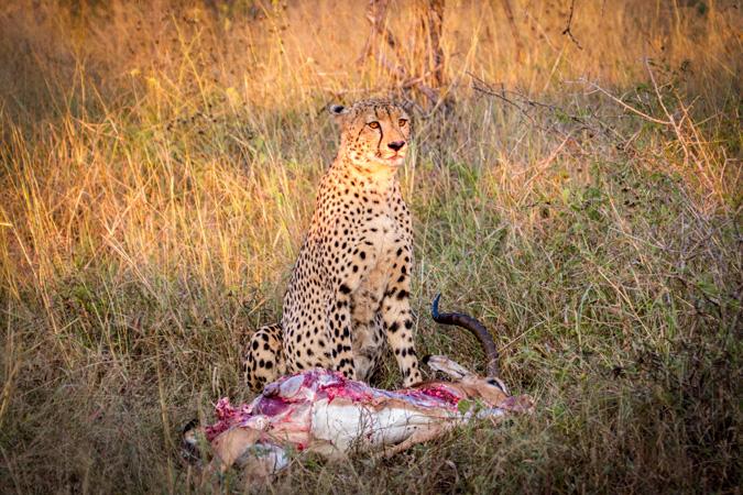Cheetah, impala kill, Rhino River Lodge, KZN