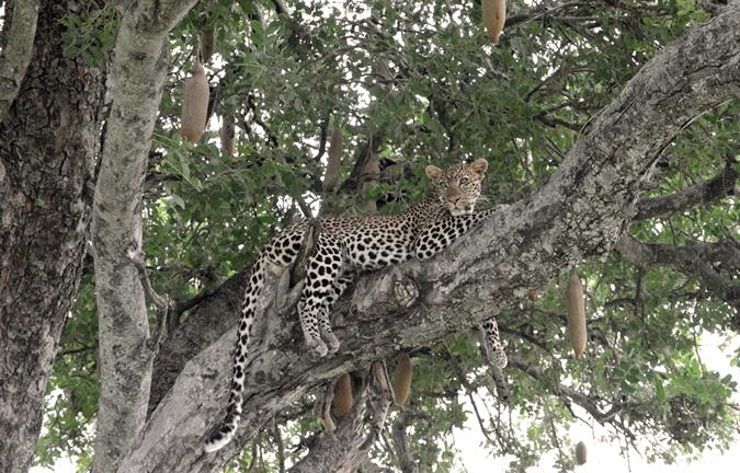 Leopard, Mdonya Camp, Tanzania