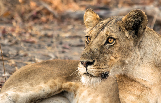 Lion, Mdonya Camp, Tanzania