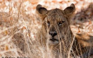Andrea Pompele, Mdonya Old River Camp, lion