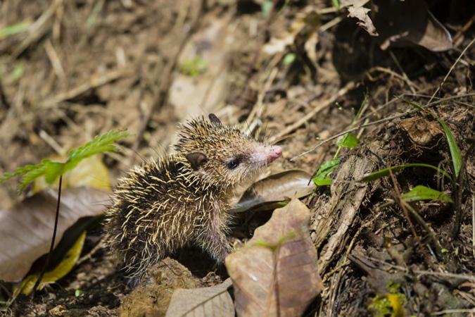 Hedgehog tenrec, Andasibe-Mantadia National Park, Madagascar