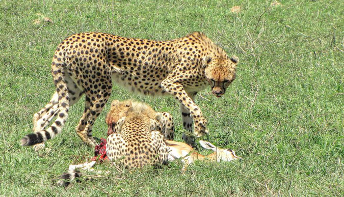 cheetah-cubs