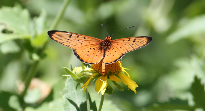 Butterfly, Tuli Block, Botswana
