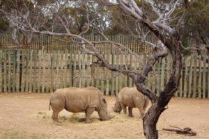 Rhino, Australia, enclosure