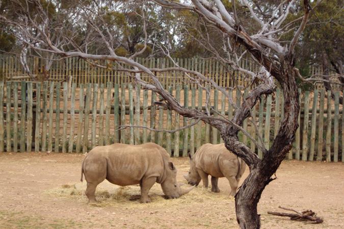 Monarto Zoo, South Australia, rhinos