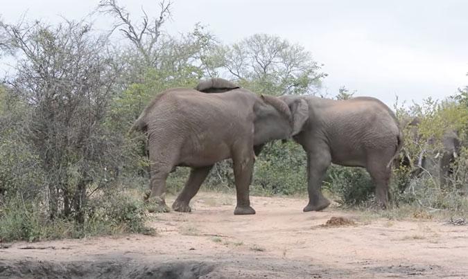 elephant, tussle, Senalala