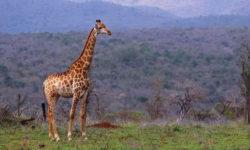 giraffes, Amakhosi Safari Lodge