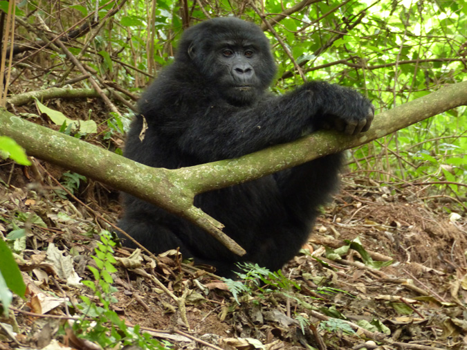 mountain gorilla, DR Congo