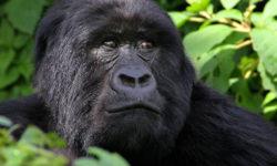 Gorilla Cousins Rwanda, gorilla