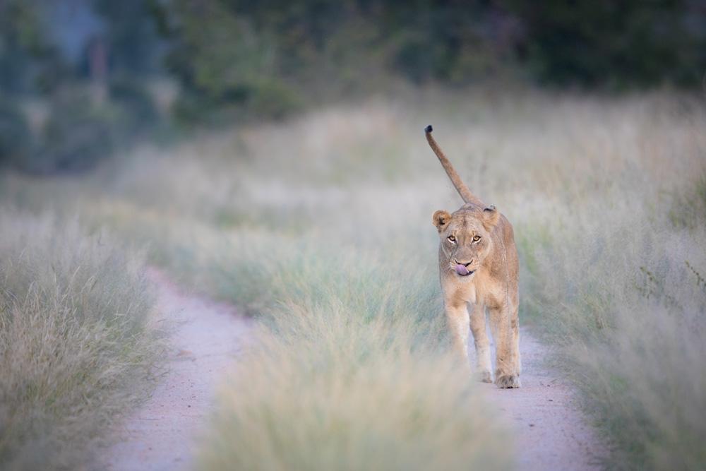 A majestic lioness