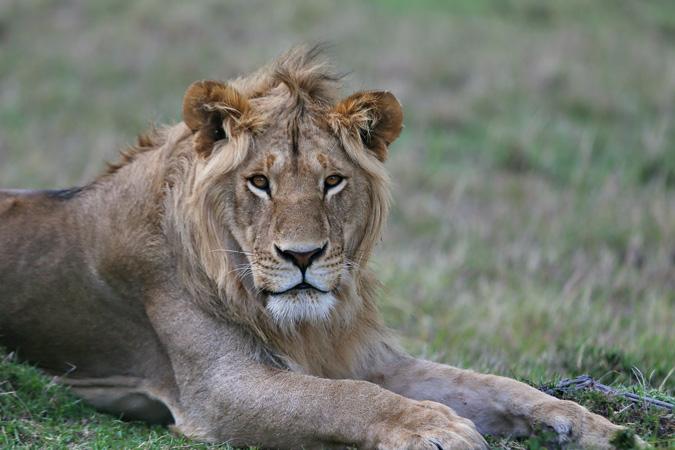 lion, Kruger