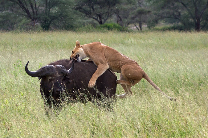 Serengeti, lion hunting