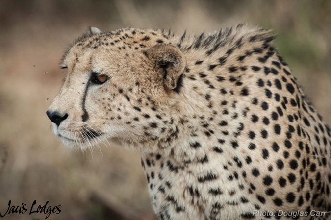 Cheetah, zebra hunt, Jaci's Lodges, Madikwe, South Africa
