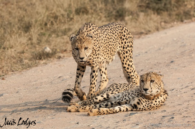 Cheetah, Jaci's Lodges, Madikwe, South Africa