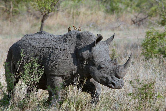 rhino conservation