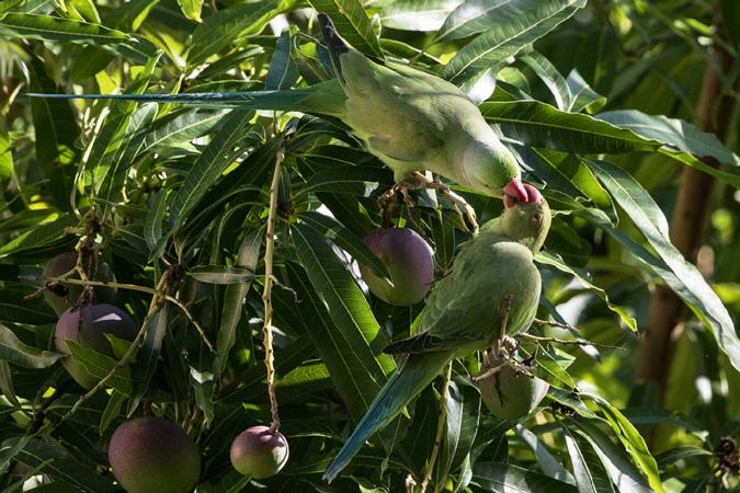 birds, parakeet