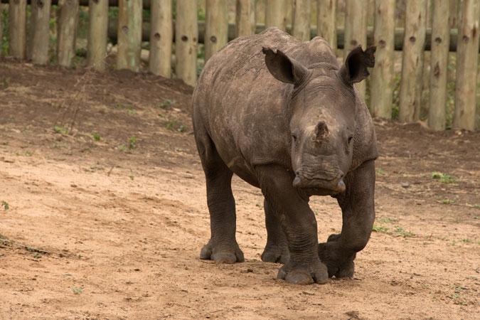 Thula Thula Rhino Orphanage, rhino calf