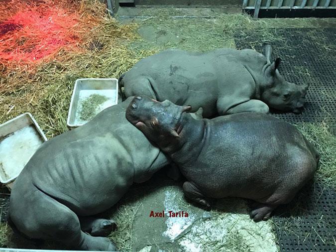 Thula Thula Rhino Orphanage, rhino calves and hippo