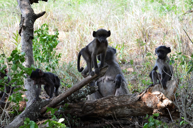 Tim Brown Tours, baboons