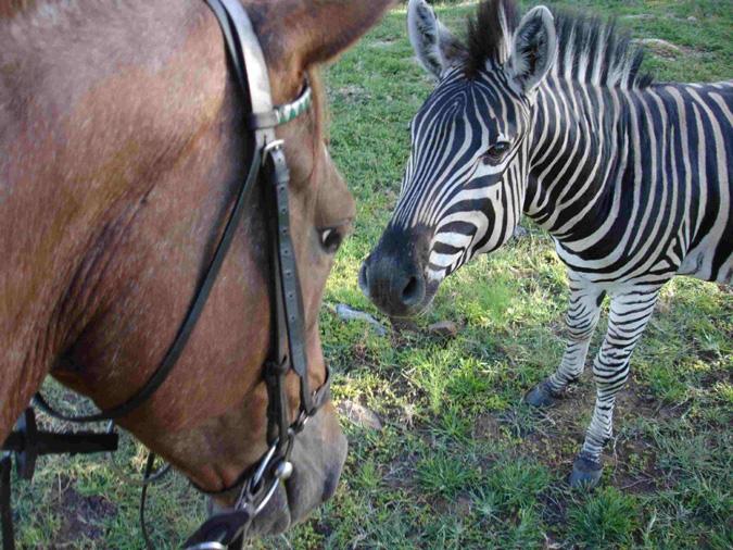 Zebra, horse, South Africa