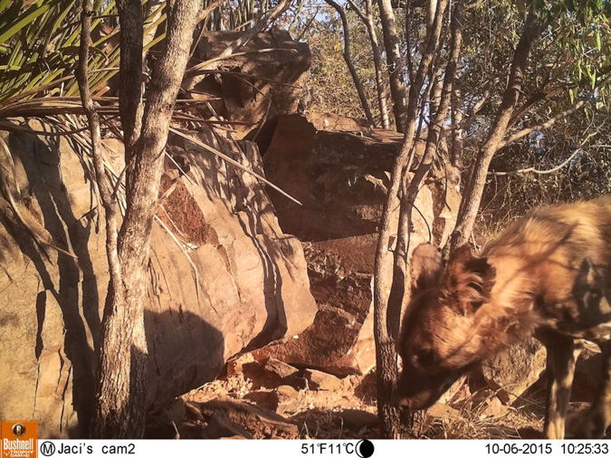 camera trap, African wild dogs, Madikwe, South Africa