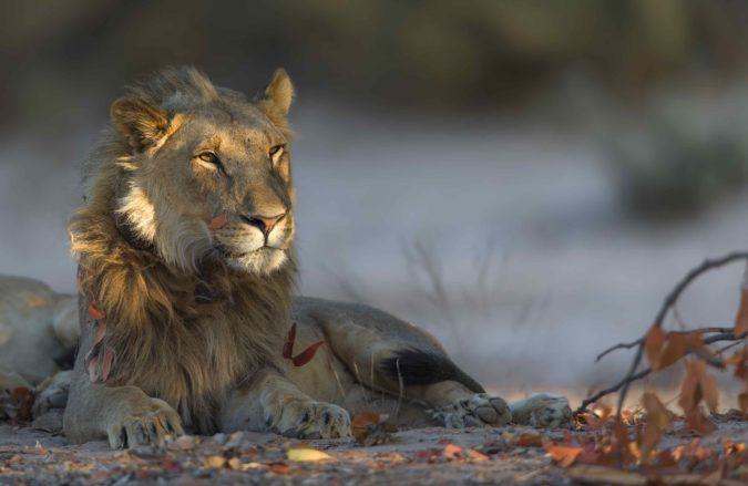 Desert-adapted lion