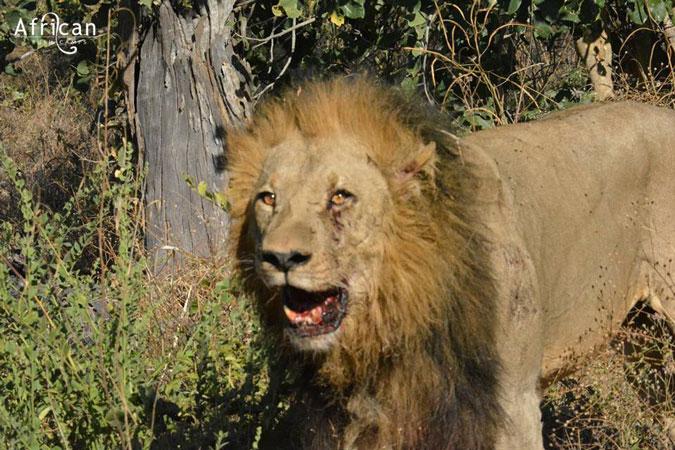 Stumpy the lion, Linyanti Bush Camp, Botswana