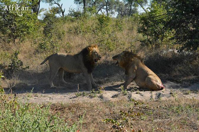 Stumpy the lion facing off against rival lion, Linyanti Bush Camp, Botswana