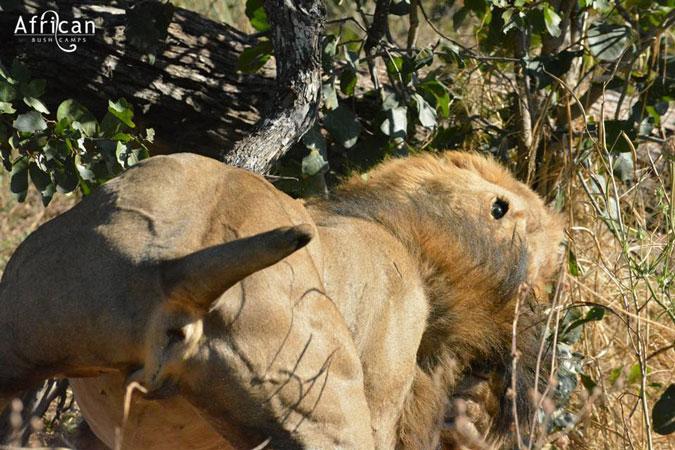 Stumpy the lion attacking rival lion, Linyanti Bush Camp, Botswana