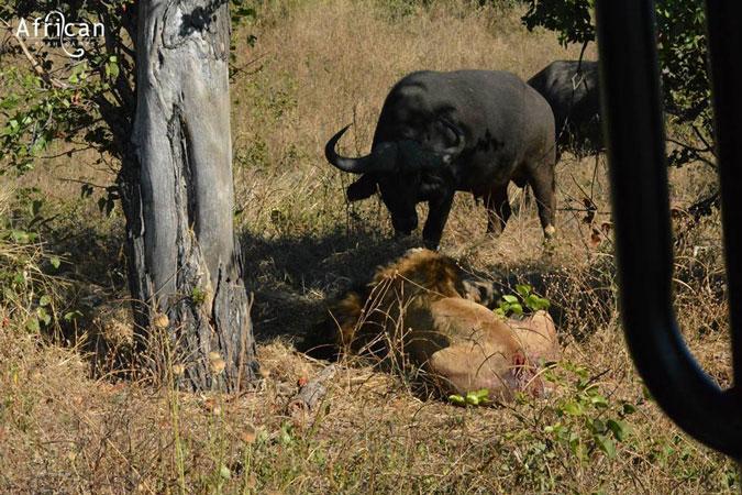 buffalo and lions, Linyanti Bush Camp, Botswana