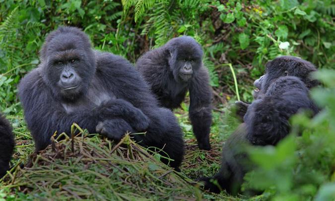 gorillas, Bwindi Impenetrable Forest, Uganda
