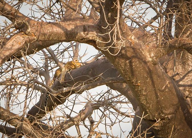 leopard, tree, Kruger National Park, South Africa
