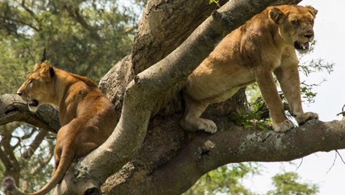 tree climbing lions, Queen Elizabeth National Park, Uganda