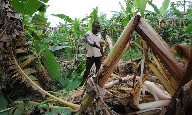 human-elephant confict, cocoa plantation detroyed by elephant, Africa