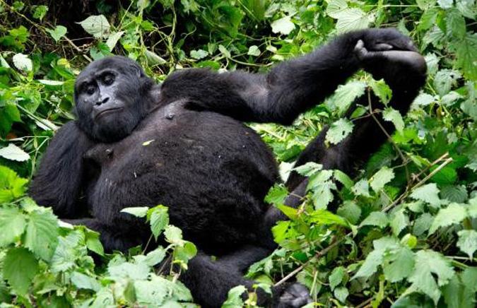 gorilla, Bwindi Impenetrable National Park, Uganda