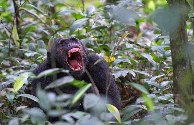 chimpanzee, Kibale Forest Park, Uganda